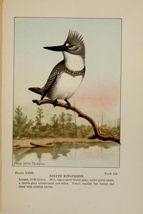 Color illustration of a male kingfisher